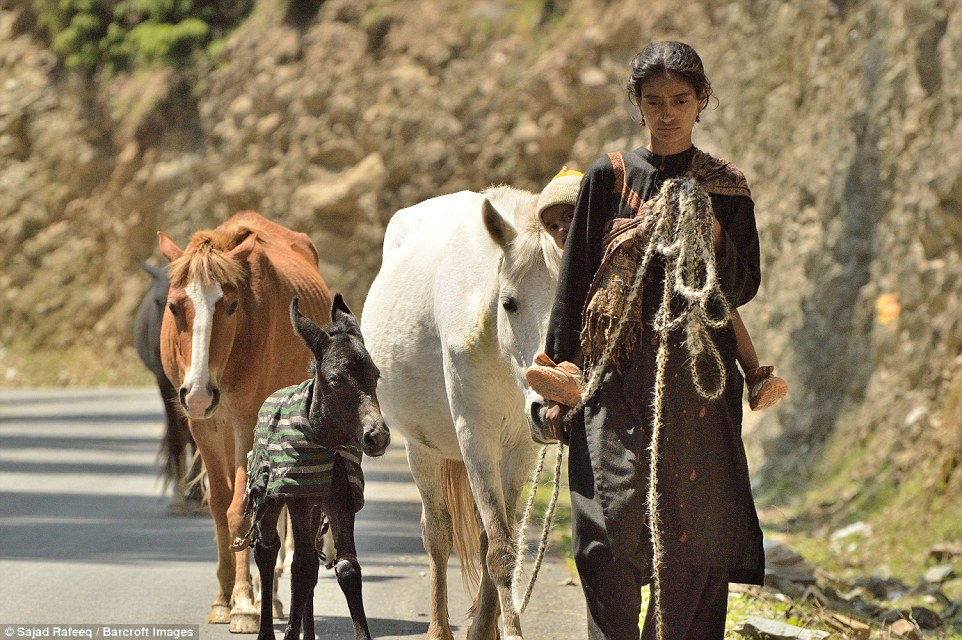A Bakarwal woman with her baby taking the herd through the Bhaderwah area. The habitat of these people is in the hilly terrain of the North-Western Himalayas