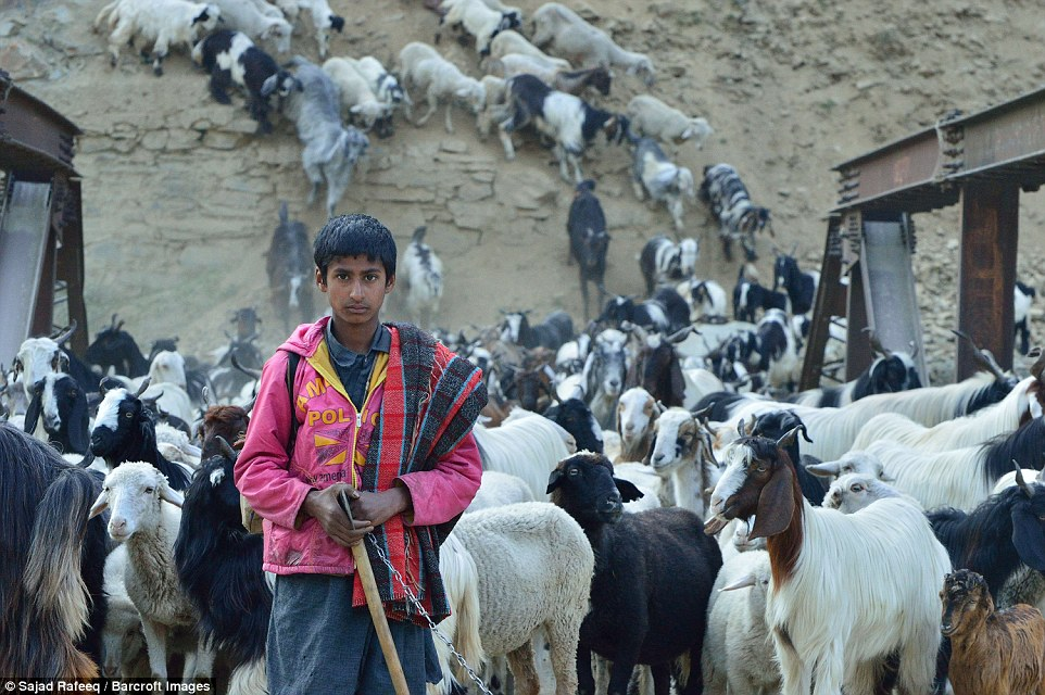 A Bakarwal boy following the herd while moving from Jammu to Kashmir. As the winter snows melt, members of the community begin a long journey with their livestock