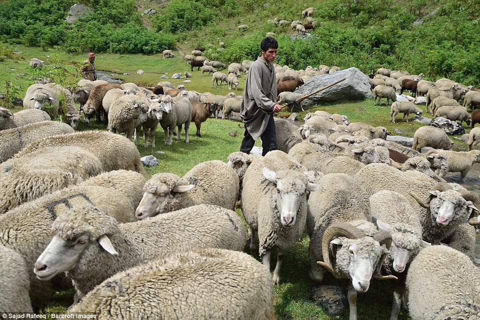 Sheep grazing in the meadows of Sonmarg. The annual migration starts when the summers hit the northern hemisphere in the months of April and May and the tribes start their migration from the hotter areas of Jammu region to colder, mountainous region of Kashmi