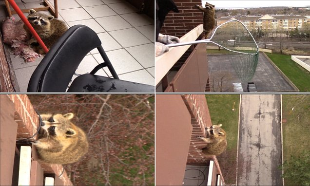 Canadian raccoon climbs down from a 10th-floor balcony in Ontario in video