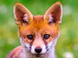 A8DGC7 Red Fox Vulpes vulpes Cub standing with ears up looking alert full frame potton bedfordshire. Image shot 2007. Exact date unknown.