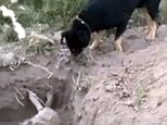 "Pic shows:  dog putting earth over his friend. A touching Facebook video shows the moment a dog called Ron helps to bury his best pal Chocolate, who died after being poisoned. The images were taken in the sector of Piedra Colgada, in the city of Copiapo, in the north Chilean region of Atacama. The owner of the two furry friends, Carlos Aguilar, shared the images on his Facebook page. He also described how before chocolate six of his dogs have been poisoned. The images show how Ron uses his snout to push earth onto the body of Chocolate who is lying lifeless in a dug out grave. In the video the black dog looks constantly at his dead pal, who died after swallowing poison . Carlos described how Ron-Wailer and Chocolate have been inseparable since a year ago when Ron ""rescued him"" so he took him home as a pet. Since then Chocolate, being older had taken it upon himself to protect the younger canine and the pair had been inseparable ever since. He said: ""When a dog is brought up from young"