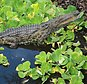 In this 2012 photo provided by Joe Wasilewski, shows a Nile crocodile that he found in Homestead, Fla. University of Florida researchers recently published a paper showing that captured reptiles in 2009, 2001 and 2014 are Nile crocs. Nile crocs are believed to be responsible for up to 200 fatalities annually in their native sub-Saharan Africa. The Nile croc, if it became established in the Everglades, would add one more invasive threat to the region's teetering ecosystem. (Joe Wasilewski via AP)