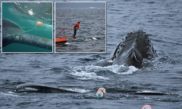 Crab fisherman and his five-year-old son help wildlife officials to free a humpback whale