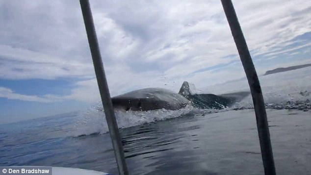 A man has filmed the remarkable moment a monster great white shark breached just metres from the diving cage he was inside of