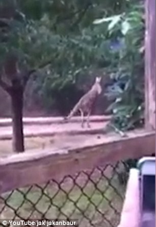 Clip shows the zoo keeper swinging for the animal which appears to be fixated with the idea of attacking him