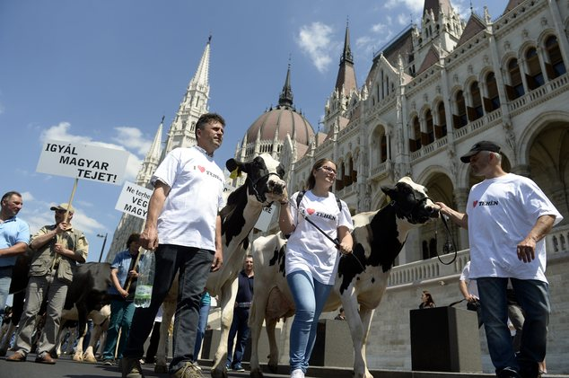 Hungarian dairy farmers protest against the low acquisition price of milk in front of the Parliament in Budapest, Hungary, Monday, May 23, 2016. The inscript...