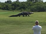 \nfrom Chris Murphy 01634 686 515\nTalk about an awkward handicap - this monster of an alligator was seen taking a casual stroll across a golf course.\nStunned players cold only stand and stare, and hope it didn't change direction.\nPlayer Charles Helms took some video of the beast that looked like it should be on the set of a Jurassic Park movie.\nMr Helms said he posted a video on his Facebook page, after spotting the enormous gator roaming a golf course in Palmetto, Florida.\nThe biggest alligator ever recorded in Florida was 14 feet long, weighing 780 pounds, and some estimates put this one at 25ft.\nSee the video here\nhttp://news3lv.com/news/local/giant-alligator-roams-golf-course-in-florida\n\nends\n\n