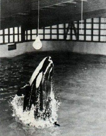 young Tilikum in Iceland