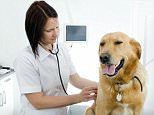 Labrador Retriever (Canis lupus f. familiaris), female vet checking a dog. EBTF9W