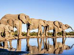 PIC BY BOBBY-JO CLOW/CATERS NEWS - (PICTURED: A line of elephants stand at the edge of a pool of water.) - They say elephants never forget  but this is the photographer who never forgets! This animal-loving photographer has spent the last decade snapping incredible photos of majestic African elephants in the wild.Australian native Bobby-Jo Clow, 33, has been taking pictures of beautiful elephants since 2004, when she was left mesmerised after seeing her first wild elephant in Kenya. Since then, she has made regular pilgrimages to southern and eastern Africa to capture the stunning creatures on camera in their natural habitat. Now, Bobby-Jo has narrowed down her thousands of images to just 200, and is planning to create a book of her beautiful pictures called Reflections of Elephants  along with written reflections of writers, poets, conservationists and elephant experts from around the globe. SEE CATERS COPY.