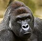 FILE - This June 20, 2015 file photo provided by the Cincinnati Zoo and Botanical Garden shows Harambe, a western lowland gorilla, who was fatally shot Saturday, May 28, 2016, to protect a 3-year-old boy who had entered its exhibit. When the 400-pound gorilla grabbed the 3-year-old boy, the sharpshooter who killed the ape wasn't police but a specially trained zoo staffer on one of the many dangerous-animal emergency squads at animal parks around the country. (Jeff McCurry/Cincinnati Zoo and Botanical Garden via The Cincinatti Enquirer via AP, File)
