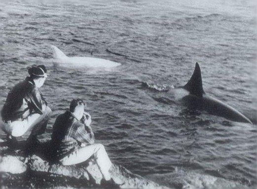 T3 with another white orca in January 1958