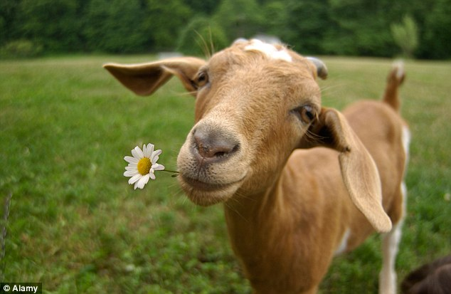 Taste of success:Delamere Dairy sells goats' milk in China after becoming the first company to get permission to export it