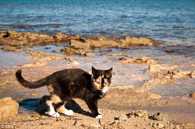 The cats are happy to frolic by the water and are friendly enough to play with visitors who come to the beach