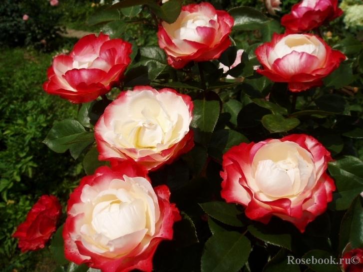 18549 - Зимостойкие розы. Розы, стойкие к морозам