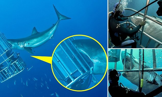Daredevil diver pats Great White shark on the nose and MOUTH off Guadalupe Island