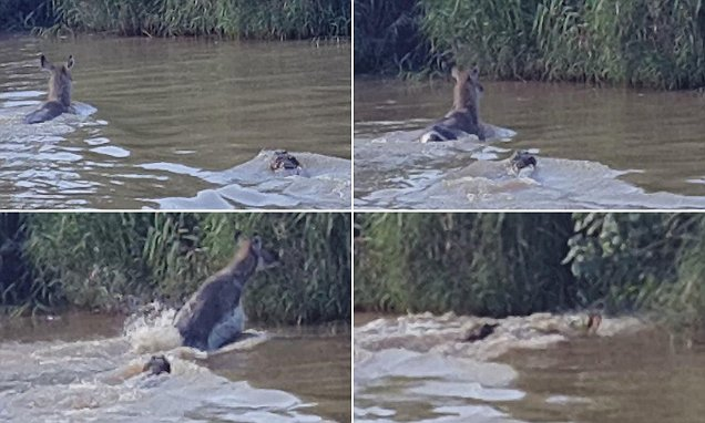 Video captures antelope swimming for its life from a crocodile as safari party urge it on