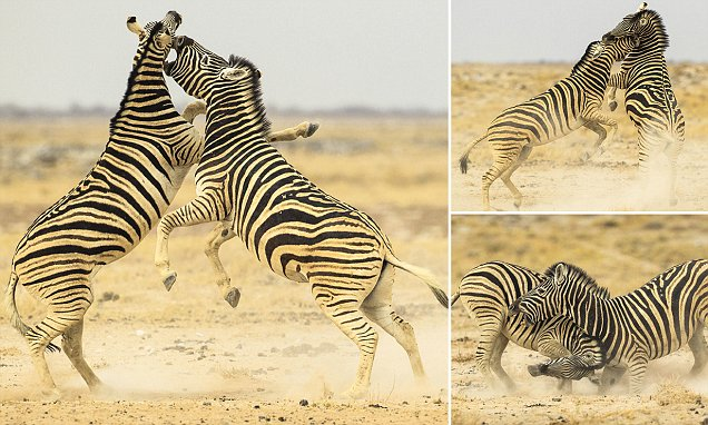 Namibia waterhole sees furious stallions square up for vicious fight