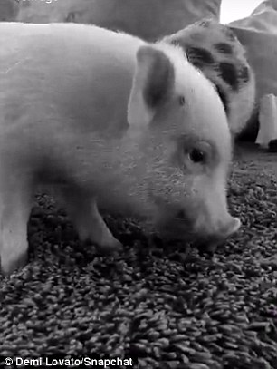 'New day': Demi Lovato plays with pigs on Saturday as she returns to social media after announcing split from Wilmer Valderrama