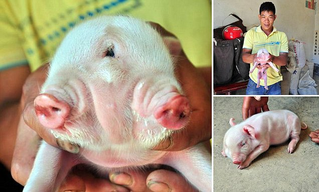 Chinese farmer astounded by 'freak' two-headed pig is born on his farm