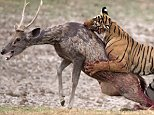 PIC BY ALANKAR CHANDRA / CATERS NEWS - (PICTURED: Majestic shots of a tigeress taking down a sambar deer.) - Talk about going in for the kill! This is the incredible moment a hungry tiger savaged an unsuspecting deer. The sly tiger was snoozing under a tree when she spotted her prey - and after stalking the herd of deer as they quenched their thirst she suddenly pounced, snaring one unlucky deer in her grasp. The desperate deer struggled to get free as the duo fought to the death, but it was no competition for the vicious tiger as she struck a killer blow, before tucking into her freshly-caught dinner. The amazing snaps were taken by wildlife photographer Alankar Chandra, on a hot afternoon by Rajbagh Lake at Rahnthambhore National Park in Rajasthan, India. SEE CATERS COPY.