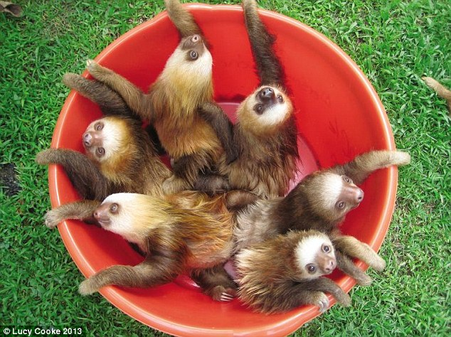 Beyond the pail: Buckets are the sloth's favourite way to travel at the sanctuary. It's fast and means they can snooze on the move. Naturally solitary in the wild, they're paired up with a sloth 'cuddle partner' when they arrive at the sanctuary, and enjoy chilling out together