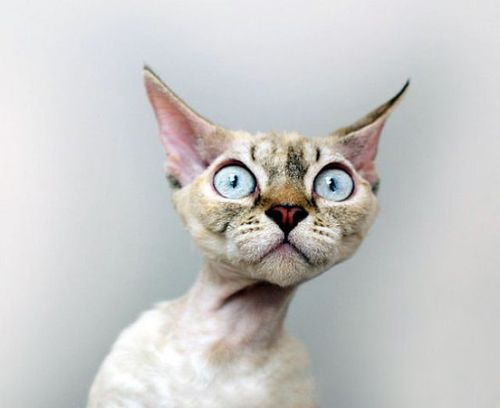 why-so-shocked-cat