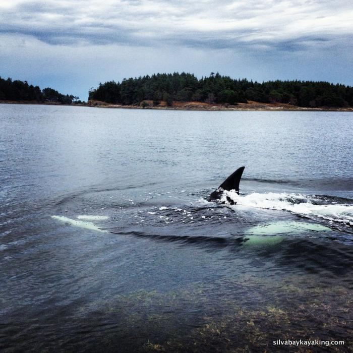Orca Whale in British Columbia
