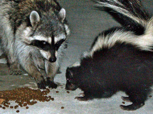 Urban_raccoon_and_skunk