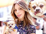"""**EXCLUSIVE**  Photo Credit: MOVI Inc.   Date: July 16th 2016\nKatherine Mcphee attends the """"Clear The Shelters"""" pet adoption event at The Grove in L.A where she ended up adopting a 10 year old Chihuahua named Wilmer."""