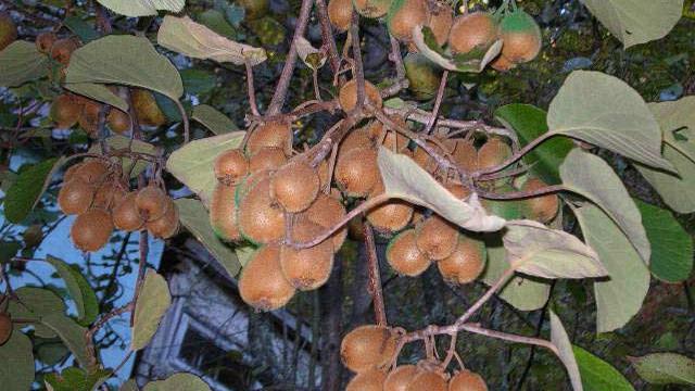 actinidia 6 - Растение актинидия: описание и фото