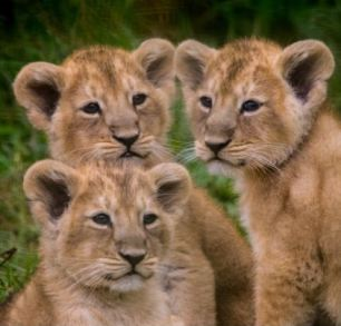 Pictured:  The lion cub triplets at Cotswold Wildlife Park. A wildlife park is celebrating the historic arrival of the first ever lion cub triplets to be born since it opened 46 years ago.  Rare Asiatic lions Rana and Kanha have made history with their very first litter at Cotswold Wildlife Park, near Burford, Oxfordshire. The adorable trio of baby lions are pictured making their public debut and meeting their father for the first time.  Named Kali, Sita and Sonika, the three females are shown playfully running down a grassy slope as they explore their new surroundings.  SEE OUR COPY FOR DETAILS. Please byline: Natasha Jefferies/Solent News © Natasha Jefferies/Solent News & Photo Agency UK +44 (0) 2380 458800