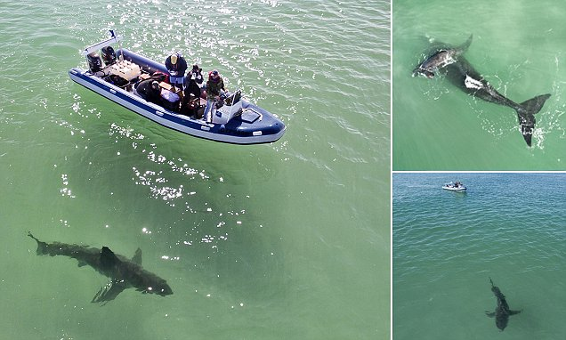 Scientists studying whales in South Africa come face-to-face with great white shark