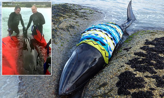 Minke whale wrapped in beach towel to keep her wet as beachgoers struggled to save her