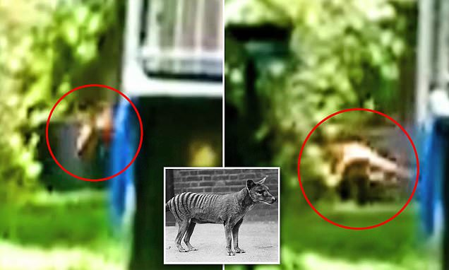 Thylacine thought to be extinct 'caught on camera' in a South Australian backyard