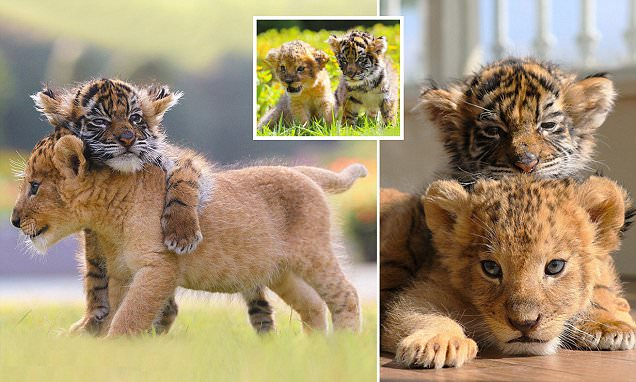 Adorable photographs show inseparable tiger and lion cubs in southern Japan