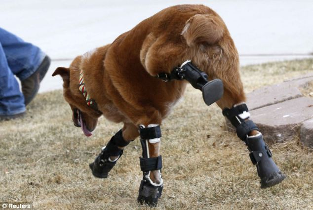 Naki'o is the first dog to be fitted with a complete set of bionic paws that work naturally to allow him to run, jump and even swim