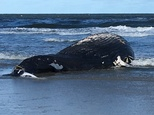 A dead humpback whale washed up on the beach at the Jersey Shore in Sea Isle City. N.J., Friday, Sept. 16, 2016. (Jacqueline L. Urgo/The Philadelphia Inquirer via AP)