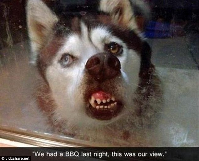 As one family had a barbecue they looked in to see their husky had pressed its nose against the window and ended up looking more like the Hound of the Baskervilles than a cuddly pet