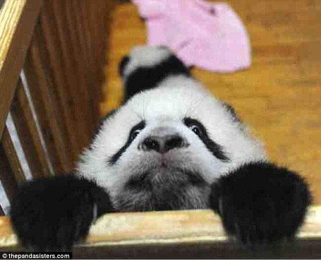 This panda seems to want a way out of this cage and isn't ready for a photo