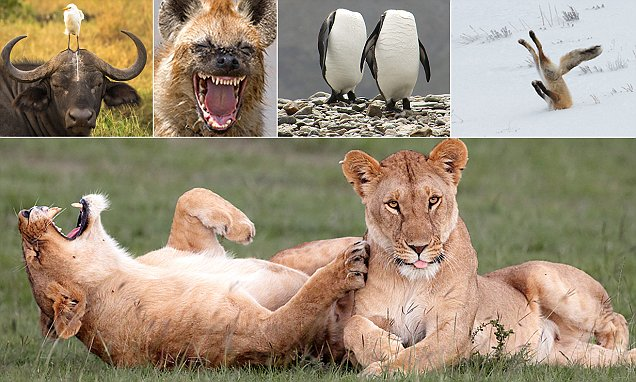 Comedy wildlife competition shortlist that's guaranteed to have you laughing like a hyena