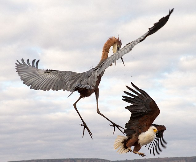 Zimanga Game Reserve in South Africa see's heron fight off eagle