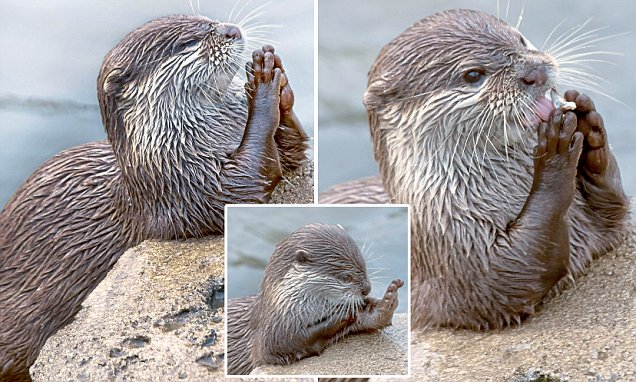 Otter at Holland's Wildlands Adventure Park pictured 'praying' for fish