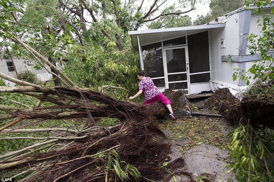 A Seminole mobile home park resident climbs over a uprooted tree in Fort Pierce, Florida after Matthew blew past the area; her home appears to be largely intact