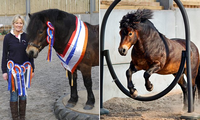An Exmoor pony that was branded and left for dead as a foal has been trained into a world