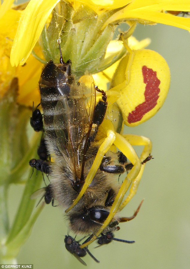 The flies drawn to the flower by the false scent are known as kleptoparasites and commonly feed on honeybees eaten by spiders (pictured)