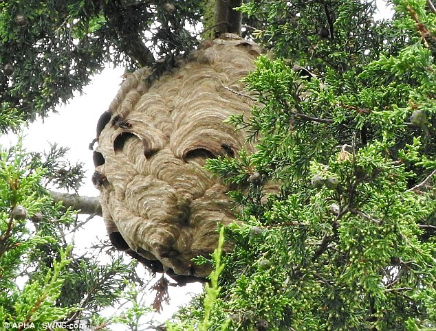 A pumpkin-sized Asian hornets' nest (pictured) has been discovered in the UK just one month after the insects were first spotted on British soil