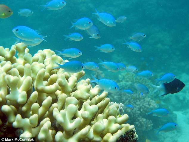 The findings suggest that damselfish (pictured) and other coral dwelling species may get lonely if they are separated from their shoals by storms