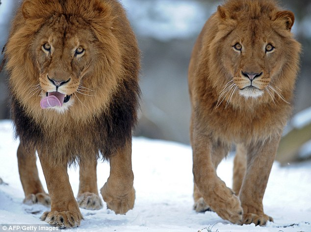 Sporadic reports of maned lionesses have been recorded in the past, researchers say. A maned lioness 'Rose' (on right) can be seen walking with a male at Warsaw's zoo in 2011